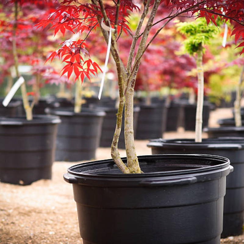 A red-leaf Japanese Maple in a nursery. Adobe RGB color space.