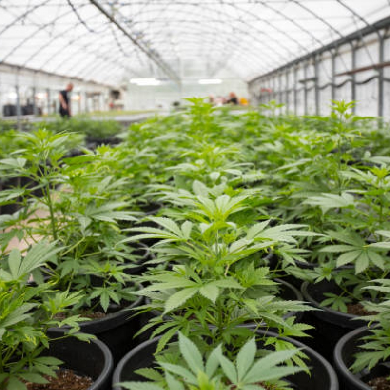 Greenhouse With Cannabis Plants.